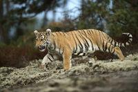 impressive... Royal Bengal Tiger *Panthera tigris*
