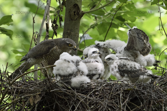 crowded... Eurasian Sparrowhawks *Accipiter nisus*
