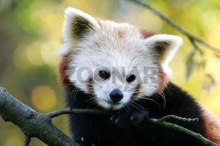 Kleiner Pandabaer