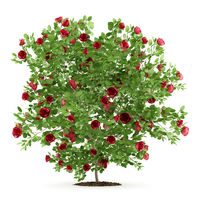 red rose shrub plant isolated on white background