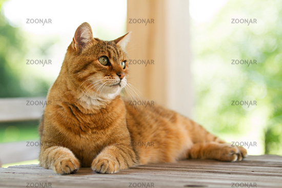 Lovely red cat on wooden table