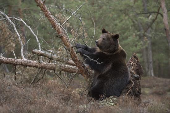 playful... European Brown Bear *Ursus arctos*