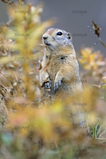 Arctic Ground Squirrel is a ground squirrel species native to the Arctic  -  (Parka Squirrel)
