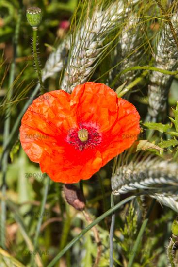 Poppy in cornfield 5