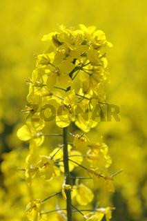 Rapspflanze, Brassica napus, im Gegenlicht, erneuerbare Energie