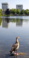 Egyptian goose (Alopochen aegyptiacus) in front of the city lake, Marl, Ruhr Area, Germany, Europe