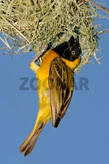 Masked Weaver (Ploceus velatus)