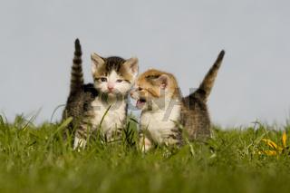 kaetzchen auf Wiese, kitten on a meadow