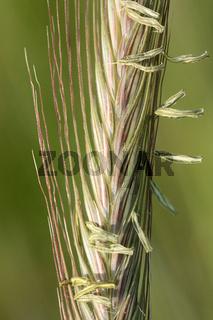 Blühende Roggenähre mit Staubgefäßen und Grannen
