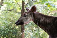 Adult okapi between trees