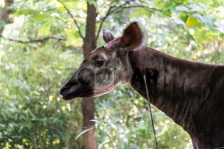 Adult okapi between trees