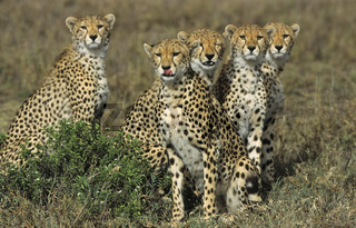 Geparden, Gruppe, Acinonyx jubatus, group of cheetahs