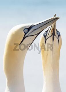 Porträt von zwei Basstölpeln, Morus bassanus