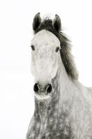 grey horse, mare in the snow