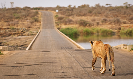 lioness walks over the bridge at Lower Sabie, Kruger NP, South Africa