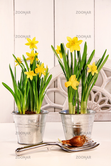 Yellow spring daffodils in pots