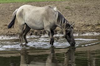 Stute im Wasser, trinkend, wild lebende Pferde im Merfelder Bruch, Dülmen, Nordrhein-Westfalen, Juni,