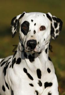 Dalmatinerportrait