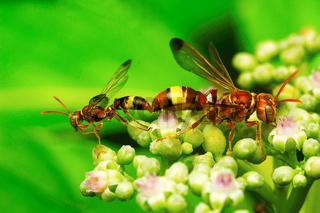 Wasps mating, Aarey Milk Colony