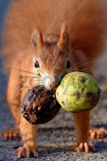 Eichhörnchen mit Walnuss