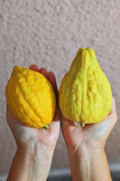 The hands holding the ritual citrus - etrog