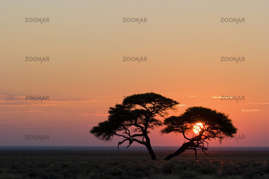 Umbrella Thorn Acacia at sunrise, Africa