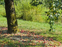 many ripe apples are under an apple tree