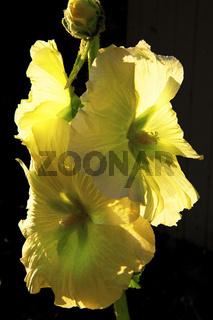 bluehende gelbe Stockrose