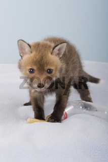 junger Rotfuchs Babyflasche, Red fox baby bottle