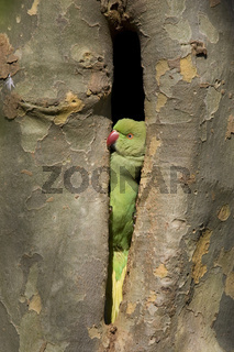 Halsbandsittich, Kleiner Alexandersittich, Psittacula kramen, Rose-ringed Parakeet