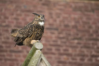 courting... Eurasian Eagle Owl *Bubo bubo*