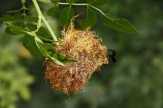 Gemeine Rosengallwespe (Diplolepis rosae)