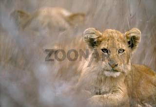 A lion cub and her mother in Kruger National Park, Africa.