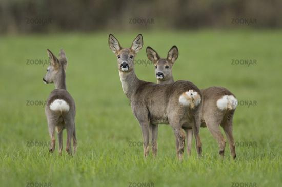 Deer, Capreolus capreolus, Roe deer