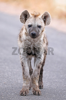 Junge Tüpfelhyäne, Kruger Nationalpark, Südafrica; young hyena, south africa, wildlife, Crocuta crocuta