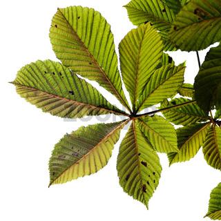 Blatt einem Rosskastanienbaum / leaf from a horse chestnuttree