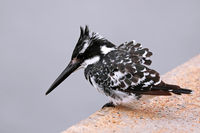 pied kingfisher, South Africa