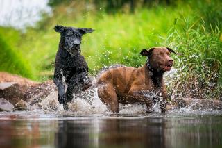 Zwei Hunde beim toben im Wasser