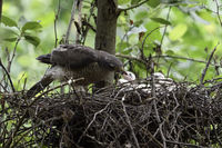 feeding its freshly hatched chicks... Sparrowhawk *Accipiter nisus*