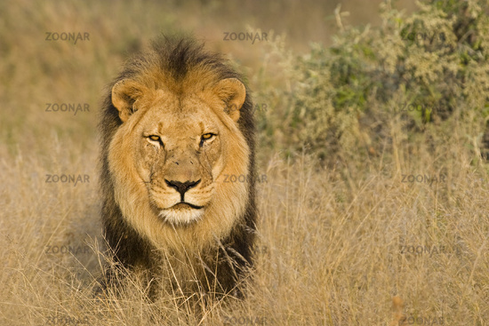 male Lion, Africa