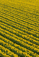 Lots of rows of yellow daffodil flowers in a field.