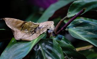 Wandelndes Blatt im Urwald von Costa Rica
