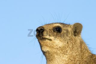 Klippschliefer, Klippdachs (Procavia capensis), Augrabies Falls National Park, Suedafrika, Afrika, Rock dassie, South Africa, Africa
