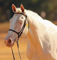 Portrat of a cremello horse