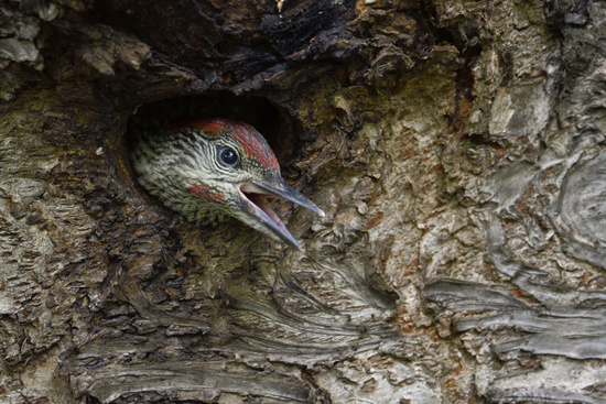 begging for food... Green Woodpecker *Picus viridis*