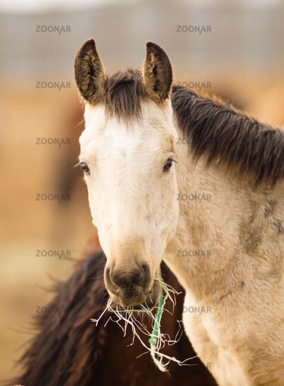 Wild Horse Face Portrait Close Up American Animal