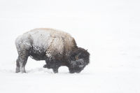 pawing the snow... American Bison *Bison bison*