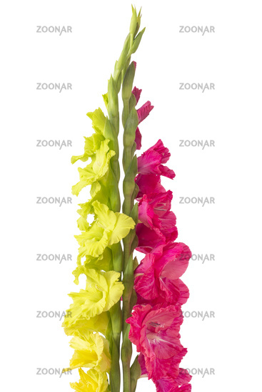 Beautiful Gladiola Flower
