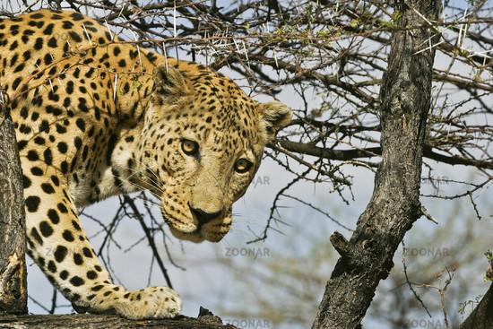 Leopard (Panthera pardus), Namibia, Africa