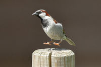 House Sparrow or English sparrow, Passer domesticus, europe, germany